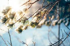 Finally some sunshine (DrowsyPotato) Tags: bokeh bokehful bokehlicious tree trees pine blue green orange yellow sweden 35mm sony alpha a7rii mark ii mkii mk2 jämtland sverige natur nature winter vinter skog forest light sunshine sunny