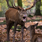 Red deer thumbnail