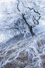 Winter Hoar frost (John Finney) Tags: winter hoarfrost weather extremeweather trees mist cold cooltones