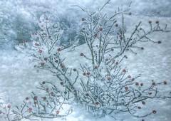 * Bacche rosse ghiacciate * (argia world 1) Tags: bacche rosse ghiacciate inverno brina neve freddo cespuglio redberries frost snow cold winter bushes texture ruby5