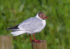 Hettemke (Arnt Kvinnesland) Tags: seagulls norway juni sommer seabirds larusridibundus myr karmy mker hettemke ferskvann vtmark sjfugler bvatnet