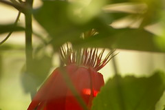 _IGP6723 (wpnsmech555) Tags: passiflora passionflower scarletpassionflower