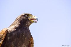 IMG_0597 (Daniel JG) Tags: bird animal canon eos eagle iso ave 600 pico pajaro faunia aguila rapaz
