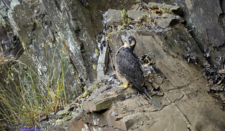 Peregrine Falcon Juvenile (ring KV).(Huh!! my brother fledged first).