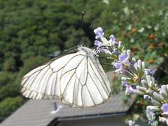 Aporia Crataegi  (3) (kyry2010) Tags: butterfly farfalla aporiacrataegi aporia crataegi