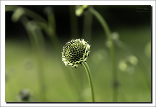 Giant scabious bud