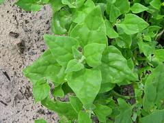 Tetragonia tetragonioides leaf3 (Macleay Grass Man) Tags: aizoaceae tetragonia tetragonioides new zealand spinach
