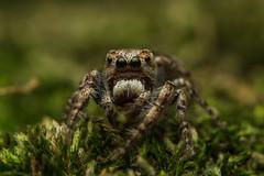 Gastromicans Sp., Male (Salticidae from Venezuela) Tags: macro male eye insect outdoors spider eyes venezuela arachnid tiny fangs jumpingspider arthropoda salticidae raynox250 macro100 canon100l gastromicanssp
