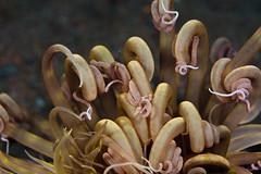 Anemone (prilfish) Tags: bali macro indonesia anemone makro corkscrew indonesien segara