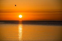 Seagull at sunrise (Giusr) Tags: sea sun seascape sunrise tramonto mare quiet peace alba seagull calming calm cielo serenity acqua calma calmness tranquillity quietude