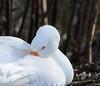Weißer Vogel - Gänse 1 (thorvonassgard) Tags: natur gans vögel fluss weiss wasservogel ruhe federn schmelz prims gefidert