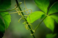 Is it spelling something? (spiralgirl1) Tags: garden virginia words magic vine creeper