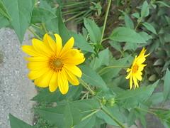 178 (en-ri) Tags: fiorellini giallo verde foglie leaves sony sonysti
