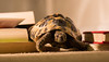 Tortuga (phoebe.horner) Tags: tortoise animal animals reptile reptiles portrait indoor indoors pet pets fernando house exotic canon 700d amateur photography photo camera picture pictures old age aged tortuga