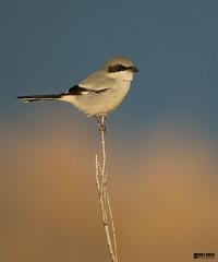 Loggerhead-Shrike (Corey Hayes) Tags: birdofprey newmexico songbird sunset coreyhayes nature wild art bird animal