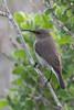 DSC_7342 (mylesm00re) Tags: f africa cinnyrischalybeus kleinrooibandsuikerbekkie nectariniidae sanparks seeberghide southafrica southerndoublecollaredsunbird westcoastnationalpark westerncape bird