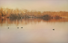 Sprint (floralgal) Tags: ryenewyork westchestercountynewyork pond longislandsound lake ducksswimming nature sunsetonlack edithreadsanctuary