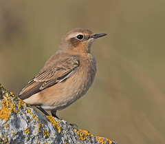 Wheatear (drbut) Tags: wheatear oenantheoenanthe chatsandthrushes turdidae bird birds avian nature wildlife outdoor portlandbill dorset