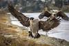 Final Approach! (Paul Rioux) Tags: nature avian bird birdinflight landing incoming descending flight canada goose wings wingspan outdoor prioux canon ef100400f4556lisiiusm 6d