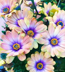 Colorful Blums (MaybeSomeday.CA) Tags: flower blum nature colors world blue purple sent love spring pastel