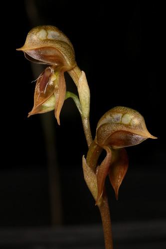 Oligochaetochilus pusillus (syn Pterostylis pusilla) 2016-11-03 02