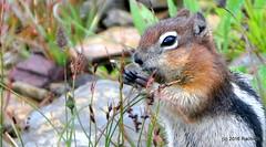 DSC_0685 (rachidH) Tags: squirrel écureuil rodents goldenmantledgroundsquirrel spermophiluslateralis callospermophiluslateralis spermophileàmanteaudoré écureuilterrestreàmanteaudoré spermophileàmanterayée logan pass loganpass westglaciernationalpark montana rockymountains mt rachidh nature