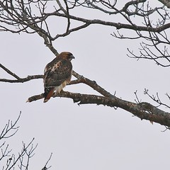 Red-tailed Hawk By The Frozen Pond (Bill Bunn) Tags: redtailedhawk falmouth maine