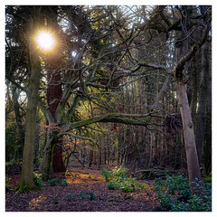 Winter woods in the sun (Simon[L]) Tags: wood woodland winter sun trees steinheilcassar50mmf28 uk surrey square
