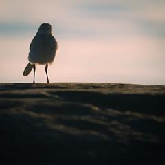 Someone to keep me company (pakerholm) Tags: motacillaalbaalba motacillaalba motacilla ärla sädesärla västäräkki sigma150600 sigma150600f563dgsports sigma150600mmf563 sigmasport sigma 150600 600 ornithology birdwatchingnikon d600 d610 nikond600 nikond610 fullframe fullformat fågelskådning ornitologi oxelösund södermanland sörmland sweden sverigebrannäs brannäsvåtmark wetlands birds bird fågel fåglar linnut lintu wildlife animals vildadjur