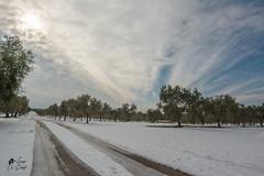 DSC_1247 (lulo92) Tags: snow neve salento olive ulive olivi olio grenn fedo cold freddo white bianco candito candido raro rar rare apulia otranto top nik nikon samyang