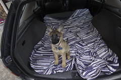 Day One (Wyatt Ryan) Tags: puppy gsd gsdpuppy pup puppies pet pets animal animals canon canonphotography portrait portraits petportraits car blanket color