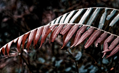 Fern. (vieira.de.carvalho) Tags: fern leaf closeup color ektachrome 1975 pentax spii smc takumar 100mm bellows rainforest