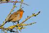 Rouge-gorge (Oric1) Tags: 22 canon côtesdarmor france tamron armorique bird breizh bretagne brittany eos hillion oiseau robin rougegorge birdwatcher oric1 jeanlucmolle