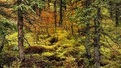 Fairyland (flowerikka) Tags: alaska denalinp forest tree green fairytales legends fantasy fairyland moos moss grass meadow landscape wald baum outdoor