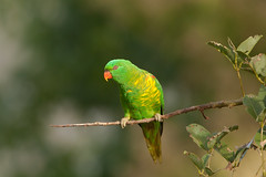 Scaly-breasted Lorikeet (Trichoglossus chlorolepidotus) (Ian Colley Photography) Tags: scalybreastedlorikeet trichoglossuschlorolepidotus portmacquarie bird 500mm