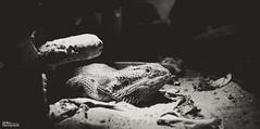 Francis le Pogona 2835 (darry@darryphotos.com) Tags: nikon d700 1735mmf28d animal pogona iguane saurien