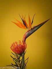"""Leucospermum nutan"" and ""Bird of paradise"" (A.J. Boonstra) Tags: birdofparadise leucospermumnutan ef100mmf28lmacroisusm falconeyesskk2150d jinbeidiffusionjumboumbrella elinchromgoldumbrella canon canon70d canoneos flowers flower closeup"