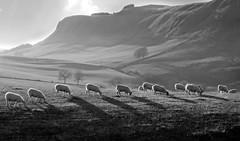 Grazing Sunshine in the Sidlaw hills (eric robb niven) Tags: ericrobbniven scotland dundee pentaxkx landscape sheep farmland cycling