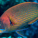 Chiseltooth Wrasse, terminal phase - Pseudodax moluccanus