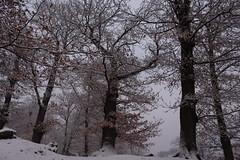 châtaignes sous la neige (bulbocode909) Tags: valais suisse fully châtaigneraies châtaigniers arbres nature hiver neige brouillard