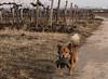 Navan 170205AS (Landfotograf) Tags: navan hunde suchspiel
