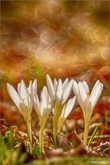 Crochi di S.  Valentino. (valpil58) Tags: spring croco crocus macro bokeh trioplan sony nex6 wild flowers zafferano maggiore m42