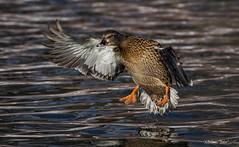 Mallard (Melissa M McCarthy) Tags: mallard duck hen female inflight flying bif animal wildlife nature outdoor neutral landing stjohns newfoundland bowringpark canon400mm canon7dmarkii