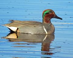 IMG_4998_edited-1 (lbj.birds) Tags: kansas nature flinthills wildlife bird duck teal greenwingedteal