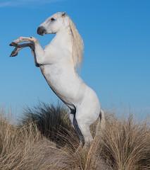 2016 'Ramses' the White Camargue Stallion on the Beach (4) (maskirovka77) Tags: legrauduroi languedocroussillonmidipyrén france languedocroussillonmidipyrénées fr ramses camargue stallion