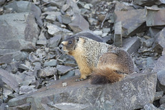 Yellow-bellied Marmot (featherweight2009) Tags: bc marmot marmots yellowbellied manningpark marmota flaviventris