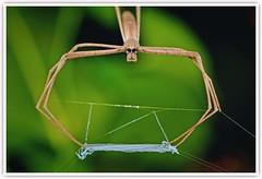 Net-casting Spiders (Vin PSK) Tags: deinopidae netcastingspiders ogrefacedspiders