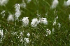 Wollgras (elke.kemna) Tags: moor moorsee moorlandschaft altwarmbchenermoor elkekemna