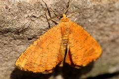 Angerona prunaria (Rick & Bart) Tags: macro male nature canon butterfly bug insect eos moth nachtvlinder 70d orangemoth rickbart thebestofday gününeniyisi angeronaprunaria oranjeiepentakvlinder rickvink
