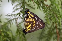 Aporia agathon moltrechti (male top, female down)  () (YoyoFreelance) Tags: aporia agathon moltrechti